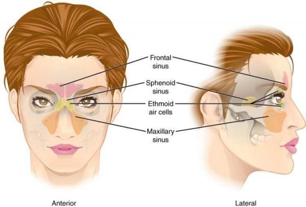 sinus diagram