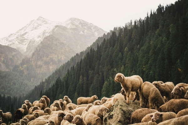 sheep in beautiful scenery
